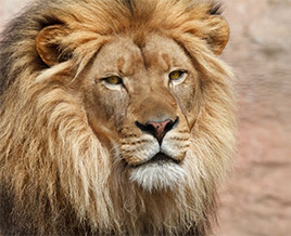 Tours to see Lions in South Africa
