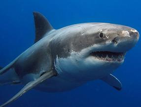 Shark Tours